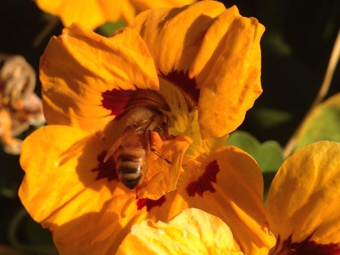 honey bee with pollen