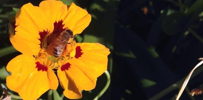 honey bee in nasturtiums
